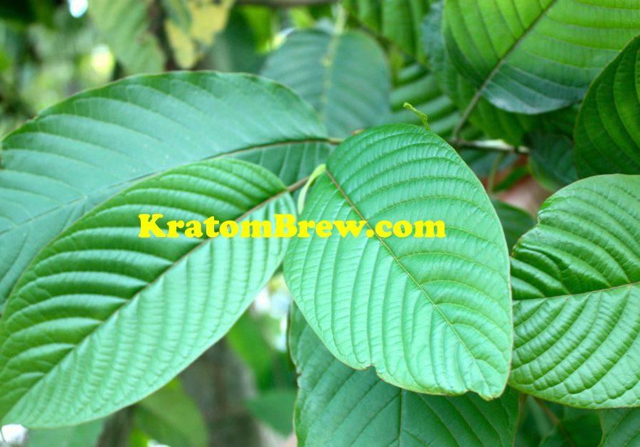 KratomBrewWide kratom-plant copy.jpg